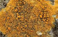 Los líquenes naranjas, potencial fuente de medicamentos contra el cáncer