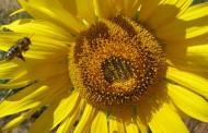 Científicos utilizan veneno de abeja como