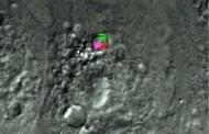 Investigadores desarrollan chips miniaturizados para detectar enfermedades desde el interior de la célula viva