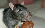 """Una proteína podría frenar la obesidad al """"obligar"""" al cerebro a elegir la comida menos calórica"""