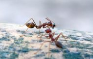 Un estudio con hormigas demuestra los beneficios de la vida en grupo