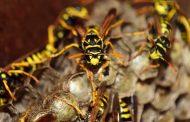 Aumentan las muertes por picaduras de abejas y avispas en España