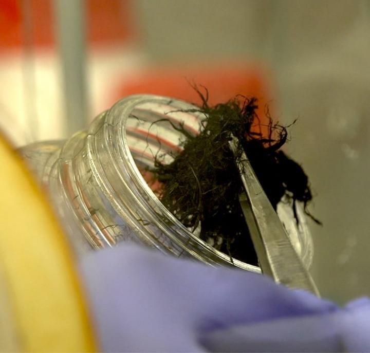 Desarollan unas fibras de carbono que pueden restaurar la función eléctrica de corazones dañados