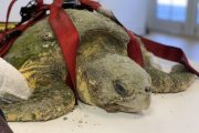 Nightingale: la tortuga gigante encontrada herida durante el confinamiento vuelve al océano